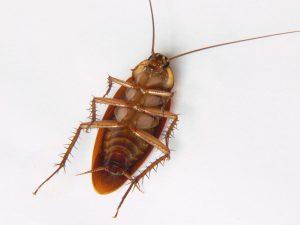 Petua Halau Lipas, Semut dan Cicak di Rumah